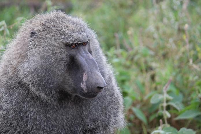 olive_baboon_safari_kenya_masai_mara_africa_safari