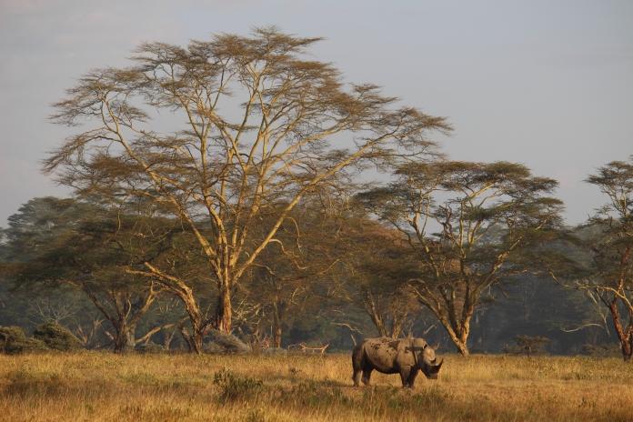 africa_black_rhino_masai_mara_kenya_safari