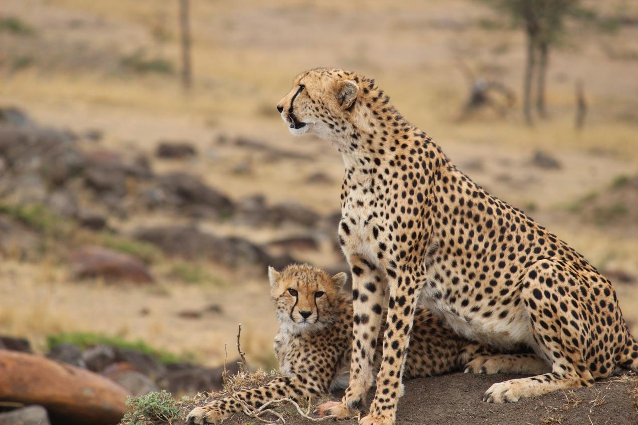 mom_baby_cheetahs_masai_mara_kenya_africa
