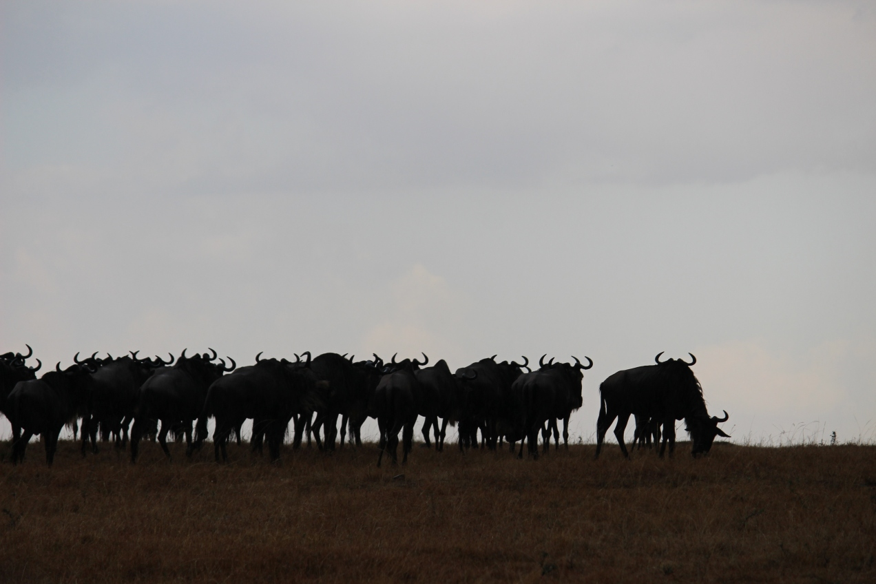 wildebeests_migration_kenya_safari_africa