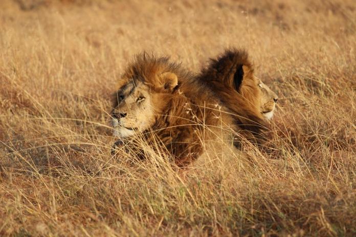 lion_safari_kenya_masai_mara_africa