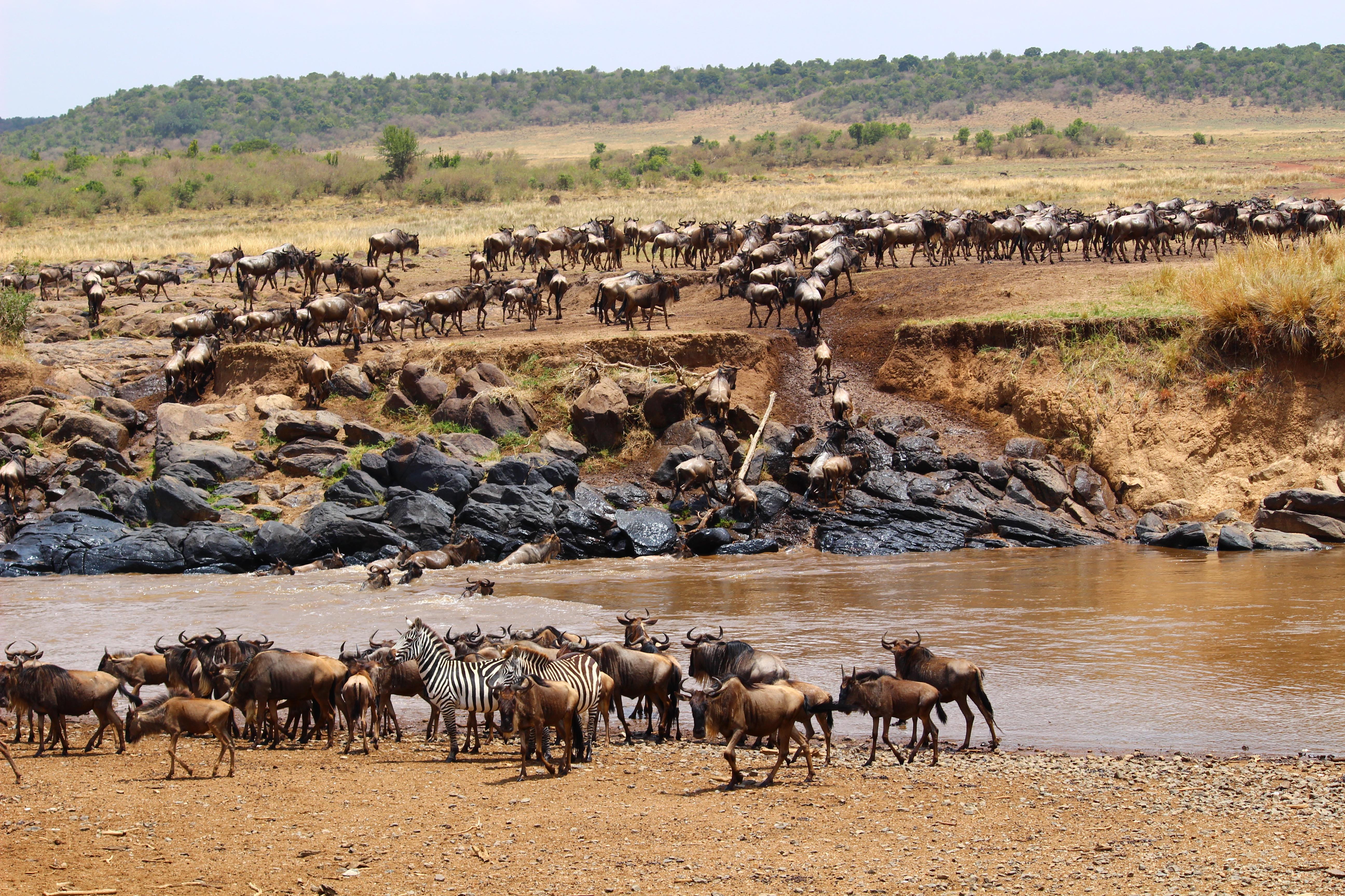 great_migration_kenya_tanzania_wildebeest_zebra_mara_river
